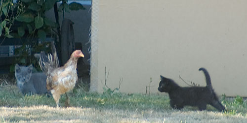 [photo of chicken walking among kittens]