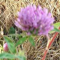 [photo of Red Clover]