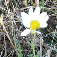 [photo of Oxeye Daisy]