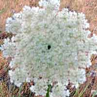 [photo of Queen Anne's Lace]