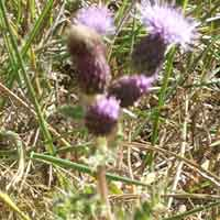 [photo of Bull Thistle]