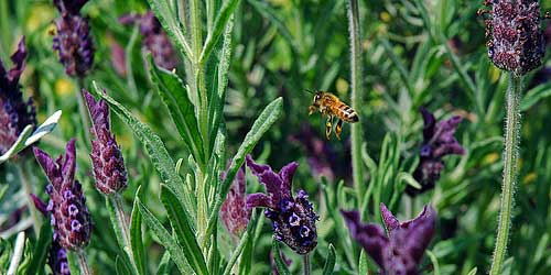 [photo of a honeybee flying among the lavendar]