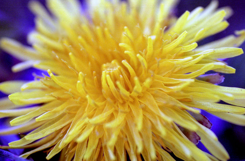 [close-up photo of a dandelion]